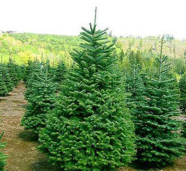Где купить новогоднюю ёлку в Воронеже?