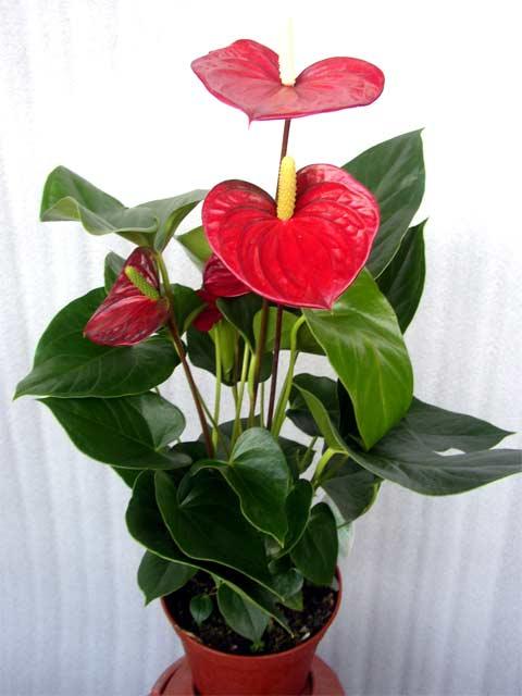 Где купить цветы на продажу в воронеже комнатные б-585 тюльпаны купить