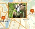 Где купить овцу или козу в Воронеже?