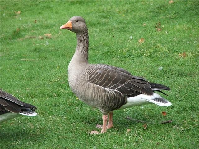 Где купить гусей в Воронеже?
