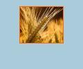 Где купить зерно в Воронеже?
